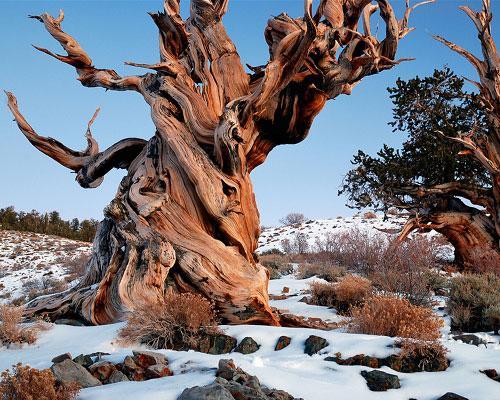 LES PLUS VIEUX ET LES PLUS GRANDS ARBRES DE LA PLANETE SE MEURENT dans REFLEXIONS PERSONNELLES arbre_mathusalem_2